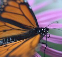 The Last Monarch - Chanhassen , MN by aleen