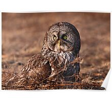 Ground Level / Great Grey Owl Poster