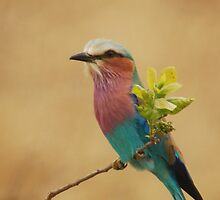 Lilac-breasted Roller by Nick Hart