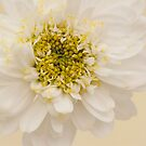 White Mini Chrysanthemum Macro by Sandra Foster