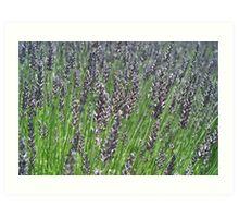 Lavender Breeze Art Print