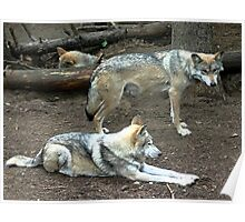 mexican red wolf pair Poster