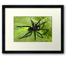 Big, black and hairy Framed Print
