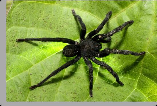 Big, black and hairy by burnettbirder
