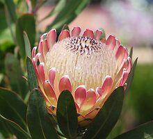 Protea Magnifica ~ Queen Protea by Jenni Matthews