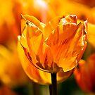Orange/ Yellow Tulip - Bowral by Kiwikels