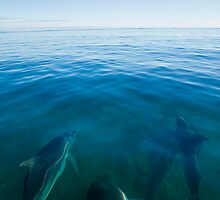 Dolphins Playing in the Clear Water off Flinders Island, Tasmania by andychiz