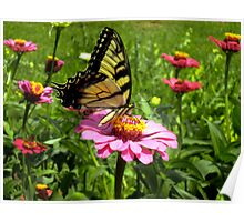 Butterfly and Zinnia Poster