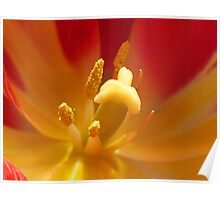 Tulip, Red & Yellow in macro Poster