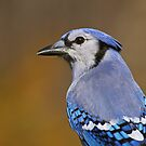Blue Jay Portrait by Bill McMullen