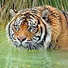 A Sumatran Tiger At The Orana Wildlife Park, Christchurch. South Island, New Zealand. by Ralph de Zilva