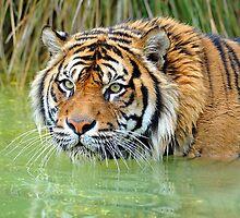 A Sumatran Tiger At The Orana Wildlife Park, Christchurch. South Island, New Zealand. by Ralph de Zilva