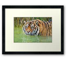 A Sumatran Tiger At The Orana Wildlife Park, Christchurch. South Island, New Zealand. Framed Print