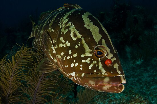 Grouper Closeup by Todd Krebs