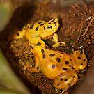 Panama Golden Frog! by vasu