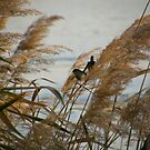 Wrens & Rushes by binjy