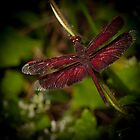 Red Dragonfly by Craig Hender