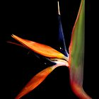 Bird of Paradise by vincefoto