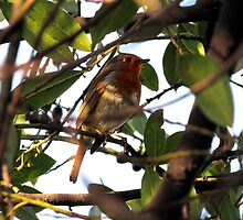 Robin in the branches of a tree by alicara