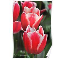 Tesselaar Tulip Farm Poster