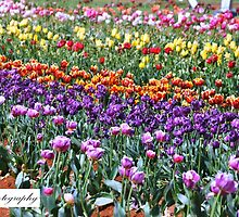 Tiptoe Through The Tulips.. by EJPhotography