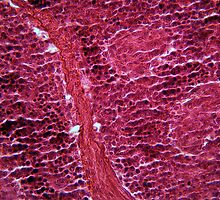 Pancreas Cells under the Microscope by Zosimus