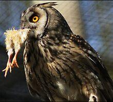 owl versus chicken by astroleaf