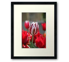 Multi-Coloured Tulip Framed Print