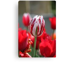 Multi-Coloured Tulip Canvas Print