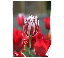 Multi-Coloured Tulip Poster