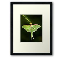 Luna Moth spreads his wings Framed Print