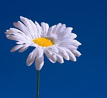 Artificial Daisy against a Blue Sky by AlisonGreenwood