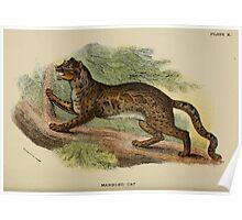 A Handbook to the Carnivora Richard Lydekker 1886 0150 Marbled Cat Poster