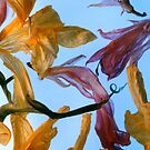 fresia sky blue by elisabeth tainsh