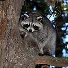 Raccoon by Jim Cumming