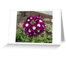 Phlox - Flowering Annual Greeting Card