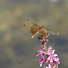 Dragonfly On Purple Loosestrife by Tracy Faught