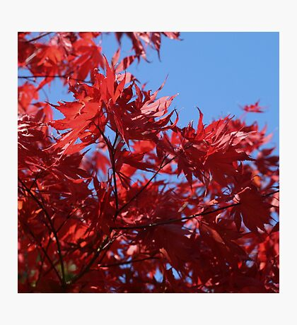 Japanesse Maple Leaves  Photographic Print