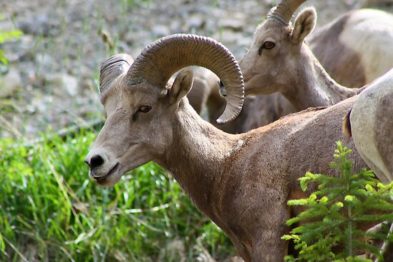 Rocky Mountain Bighorn Sheep  by Teresa Zieba