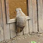 Meerkat Peekaboo! by Louiseclaire86