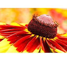 Black-Eyed Susan Hybrid Flower Photographic Print