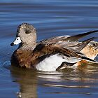 American Wigeon by Chris Heising