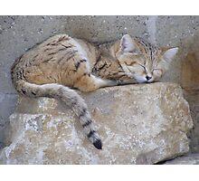 Sand Cat - Marwell Wildlife Photographic Print
