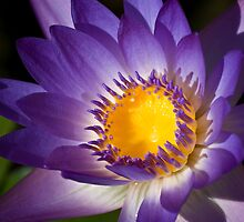 Purple Waterlily by Diego  Re