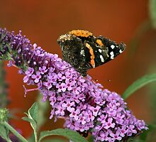 Red Admiral on Butterfly Bush by Adam Bykowski