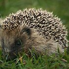 Hedgehog by YorkshireMonkey