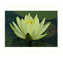 Lemon Water Lily in Low Light Art Print