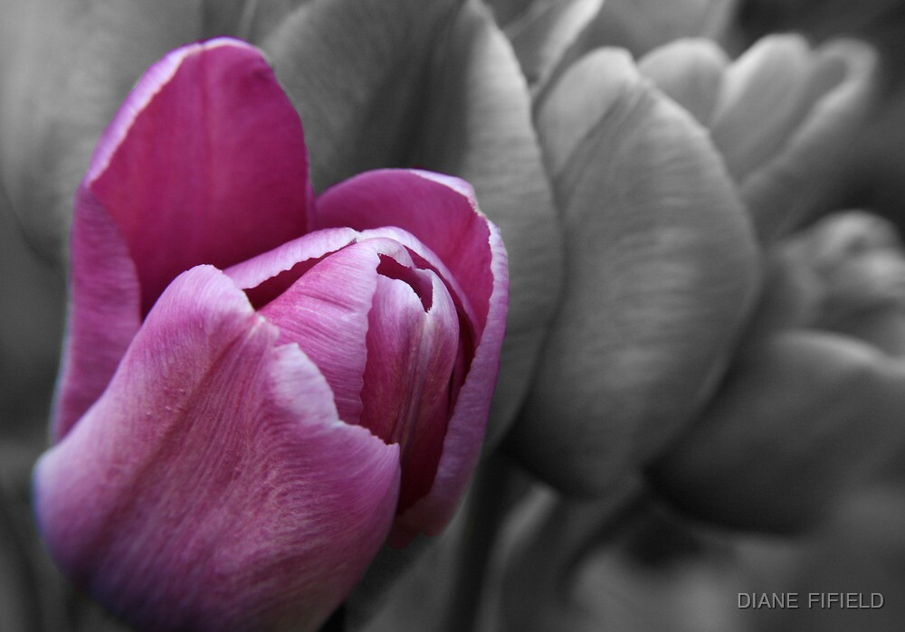 Tulip Standing Proud  by DIANE  FIFIELD