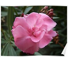 For all those who want something pink :)) - oleander _laurier rose_ Poster