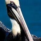 Pelican by Benjamin Manning